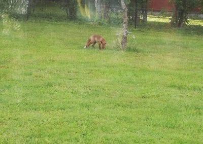 Der Fuchs besucht ..